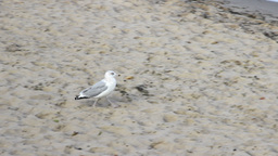 Seagull on the beach Footage