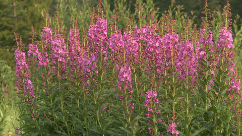 Fireweed and Bees 04 Footage