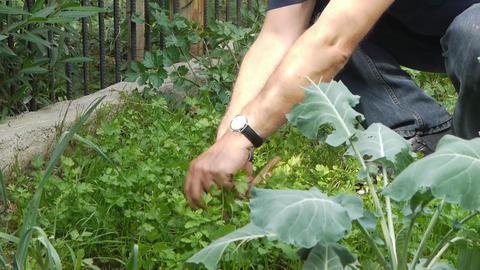 Farmer gathers harvest Stock Video Footage