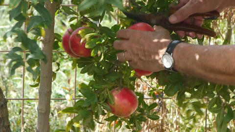 Farmer gathers harvest Stock Video Footage