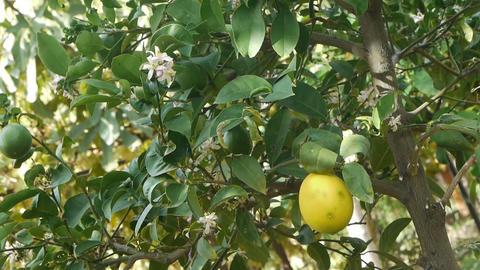 Immature lemon Stock Video Footage