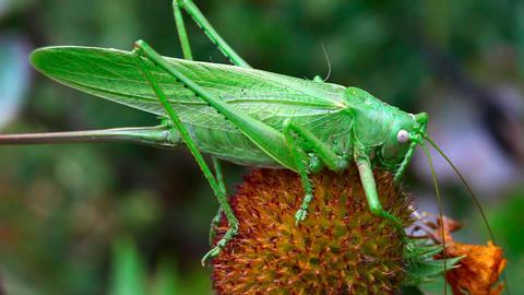 Locust Stock Video Footage