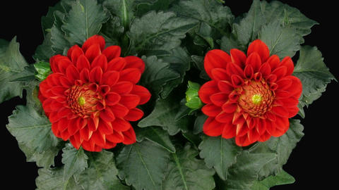Time-lapse of blooming red dahlia 3a with ALPHA matte top Stock Video Footage