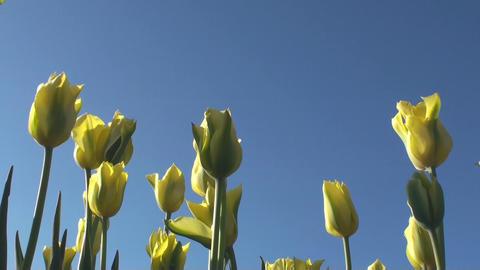 Tulips Footage