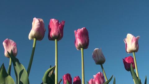 Tulips Stock Video Footage