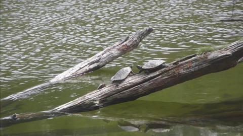 Two turtles basking on log in river medium Stock Video Footage