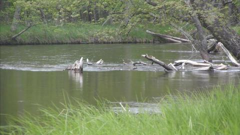 River scene logs in distance logs closer composite Stock Video Footage