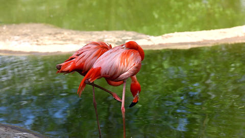 Flamingo stand in water Footage