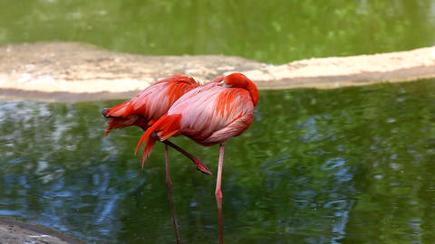 Flamingo stand in water Stock Video Footage