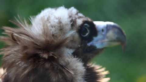black vulture head close up Stock Video Footage