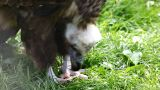 Black Vulture Eat And Fly Out stock footage