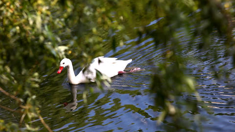 swan swim in lake Stock Video Footage