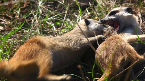 Suricate - meerkat fight Stock Video Footage