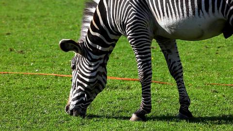 Zebra feed on grass Stock Video Footage