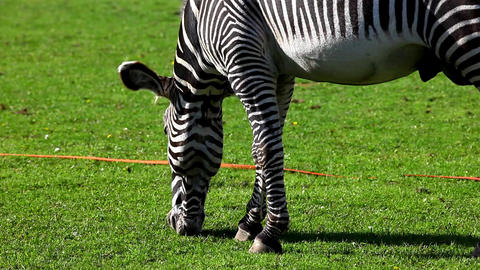 Zebra feed on grass Stock Video Footage