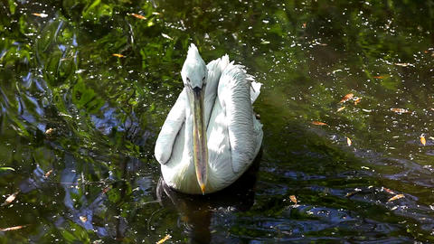 Pelican swim in lake Stock Video Footage