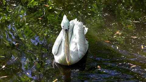 Pelican swim in lake Stock Video Footage
