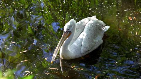 Pelican swim in lake Footage