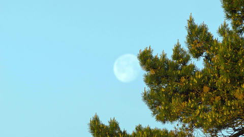 moon behind a conifer Footage