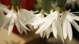 Hatiora gaertneri or Easter Cactus HD Stock Footag Footage