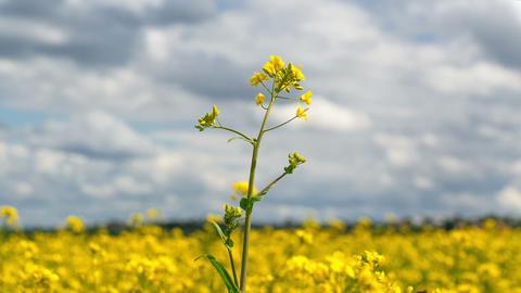 Beautiful Yellow Oilseed Rape Flowers in the Field Footage