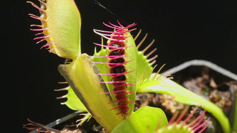 Carnivorous plant catching a fly Live Action