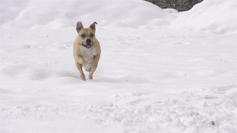 SLOW MOTION: Dog running for the ball in fresh sno Footage