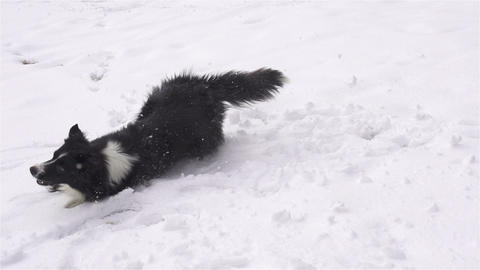 SLOW MOTION: Happy dog rolling in fresh snow Footage