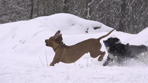 SLOW MOTION: Dogs playing in fresh snow Footage
