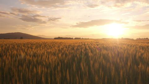 AERIAL: Flight over the wheat field at sunrise Footage