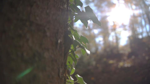 Ivy on a tree trunk Footage