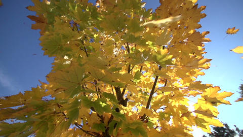 Shaking Maple tree in autumn Footage