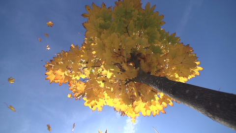 Maple tree in autumn, low angle view Footage