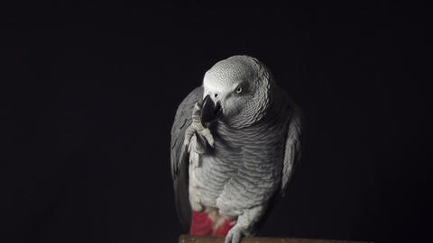 Parrot African Grey biting claw Live Action