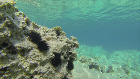 Sea Urchins Footage