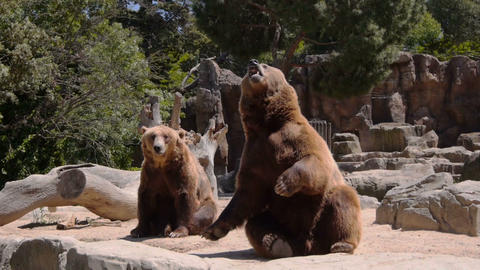 Big bears begging for food Stock Video Footage