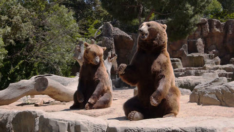 Big Bears Begging For Food stock footage
