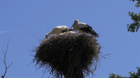 White stork nesting Footage
