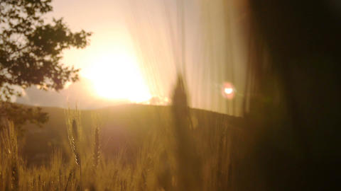 Wheat field at sunset Footage