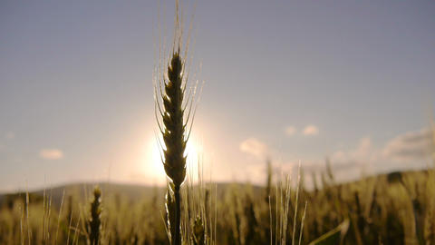 Wheat field at sunrise Footage