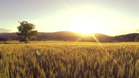 AERIAL: Low flight over wheat at sunset Footage