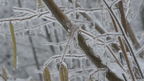 Icy hazel branch with catkins Footage