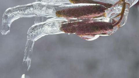 Catkins (aments) covered with ice melting Footage