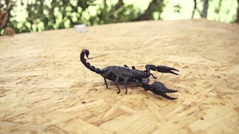 Scorpio stock footage