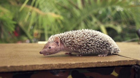 Hedgehog stock footage