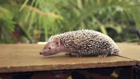 Hedgehog Footage