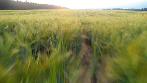 AERIAL: Wheat field in sunset Footage