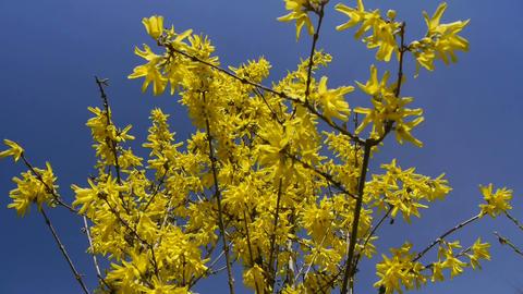 Yellow flower Forsythia Footage