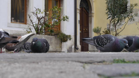 Pigeons eating corn Footage