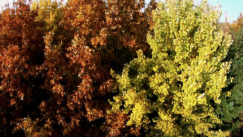 AERIAL: Flight over autumn colored trees Footage